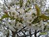 29.07.10 - Kirschblüte April