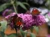 31.07.10 - Schmetterlingsflieder