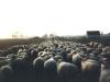 15.04.10 - Schafherde in der Abenddämmerung