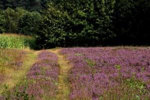 Heideland an Hampen-Busk